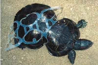Tortuga deformada por culpa de un anillo de plástico