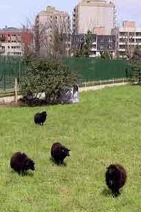 Cuatro ovejas se instalan en los Archivos de París
