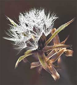 flor con rocío