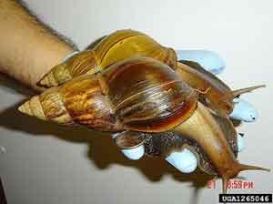 Caracol Achatina fulica