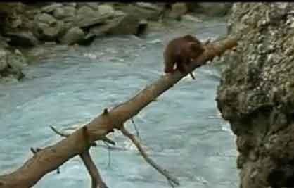 Oso atravesando un río