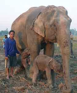 Elefantes gemelos