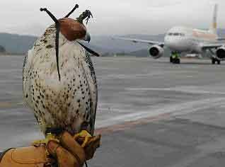 Uno de los halcones que trabajan para ahuyentar a los pájaros en el aeropuerto de Alvedro.
