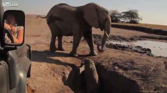 Bebé elefante en apuros