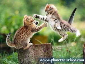 Gatitos peleando