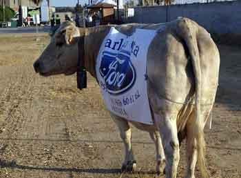 La vaca que ríe... digo la vaca cagona.