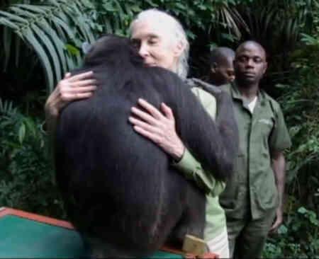 Emotiva liberación de la chimpancé Wounda en Congo