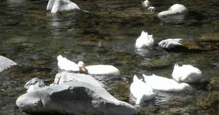Patos en el río Ara