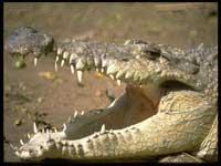 dientes-de-cocodrilo