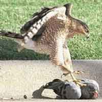 Halcón cazando palomas