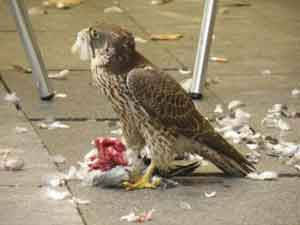 Halcón comiéndose una paloma