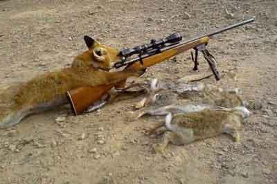 Un zorro hiere de un balazo a su cazador en Bielorrusia