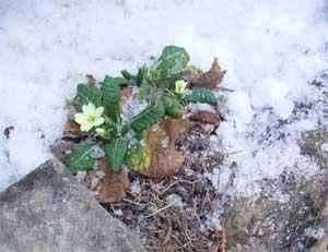 Prímulas en la nieve