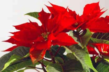 Euphorbia pulcherrima, conocida comúnmente como  flor de pascua, o poinsetia