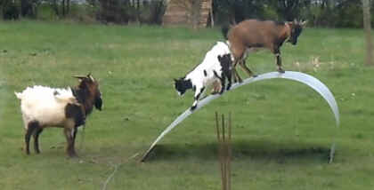 El equilibrio de las cabras en una cinta de acero flexible