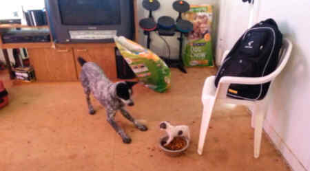Perro pequeño contra perro grande