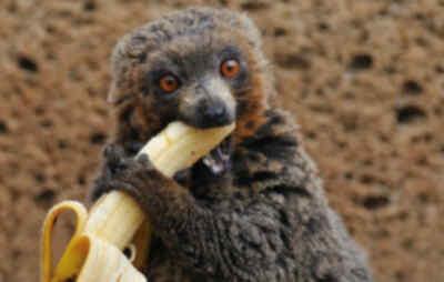 comiendo bananas