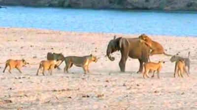 Un elefante contra 14 leones
